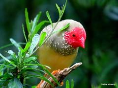 Star Finch (damselfly58) Tags: starfinch bird finch australianbird australia