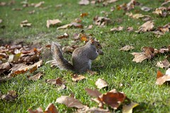 St James's Park, London (veronicajwilliams photography) Tags: veronicajwilliamsphotography travelphotography travel travelling traveling canon canon5dmarkii canon2470mm canon2470mmf28l stjamespark squirrel park london uk britain autumn