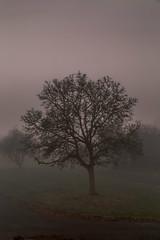 Walnut tree (powellspin) Tags: buckinghamshire marlow walnuttree fog mist autumn