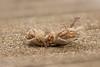 House Sparrow / Huismus (Passer domesticus) (Levina de Ruijter) Tags: amsterdam birds animals canon feeding nederland thenetherlands vogels canon5d housesparrow juvenile dieren huismus kenko14xtc canonef300mmf4lisusm juveniel voerend