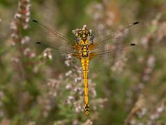 Black Darter (Sympetrum danae) . (od0man) Tags: uk macro insect dragonfly surrey darter swt odonata anisoptera blackdarter sympetrumdanae ockhamcommon libellulid