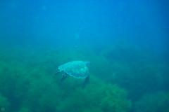 20150829-DSC_9442.jpg (d3_plus) Tags: sea sky fish beach japan scenery underwater diving snorkeling  seaturtle shizuoka    apnea izu j4  waterproofcase    skindiving minamiizu        nikon1 hirizo  1030mm  nakagi 1  nikon1j4 1nikkorvr1030mmf3556pdzoom beachhirizo misakafishingport  1030mmpd nikonwpn3 wpn3