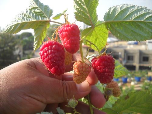 Raspberry early fruiting Jun n2, 2015