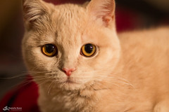 Clara (Mitrish) Tags: clara light rot beautiful cat golden beige kitten sweet hell kitty decke katze haustier tier