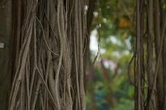 DSC00366 (oliveplum) Tags: tree nature singapore bokeh sony vine marinabay gardensbythebay leica60f28macro