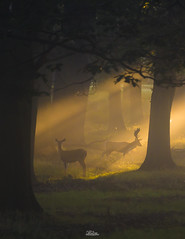 Majestic Light (JRTurnerPhotography) Tags: park city uk greatbritain trees england mist london animal sunrise canon woodland print mammal photography dawn photo stag photographer image wildlife picture doe richmond deer antlers photograph fallowdeer buck sunrays fallow britishwildlife lightbeams westlondon richmondpark capitalcity landscapephotography canon70200mmf4lis jaketurner canon5dmarkiii jrturnerphotography