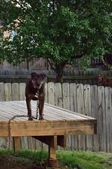 DSC_2307 (bfaling) Tags: trees boy columbus ohio red summer orange dog sun cute yard sunrise jack back glow sweet neighborhood oh pooch neighbor 2015