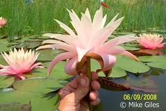 FairySkirt4 (Waterlelie.be) Tags: skirt fairy westvirginia nymphaea fairyskirt verenigdestatenvanamerika noordamerika mikegiles nymphaeafairyskirt