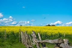 Ruta 55 (peladomal ) Tags: flowers blue sky flores colors field yellow uruguay colores amarillo cielo tranquera