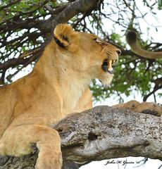 DSC_2750-b Lioness, Masai Mara, Kenya. (GavinKenya) Tags: lion lioness africanlion tree resting lionintree lionessintree masai mara masaimara maratriangle masaimarakenya kenya africa africa2015 safari2015 safari dk grand safaris dkgrandsafaris kenyaafrica kenyasafari africasafari africansafari wildlifephotography wildlife photography animal wild africanwildlife african june july 2015 mammal nature naturephotography photographer kenyawildlife john gavin johngavin johnhgavin