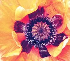 FB_IMG_1445160313646 (Nicolaspeakssometimes) Tags: flower poppy