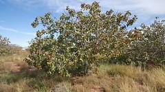A pistachio tree