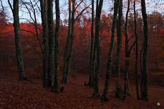 La htraie rouge (Laurent J. ZL) Tags: autumn leaves automne paca provence mont beech feuilles sud 84 vaucluse ventoux serein hetre laurentjzl laurentjouffre loeildelaurent
