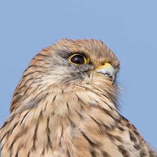Kestrel close up.