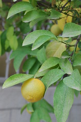 Citrus Tree - Neighborhood Betwee 2nd & 3rd Circles - Amman (jrozwado) Tags: tree fruit asia amman jordan citrus   jebelamman