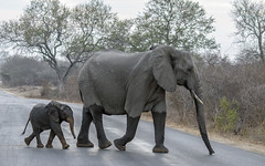 Half- and full-wet (Fil.ippo) Tags: baby elephant wet animal southafrica wildlife mother filippo krugernationalpark elefante skukuza sudafrica sigma70300 bagnato d7000 filippobianchi