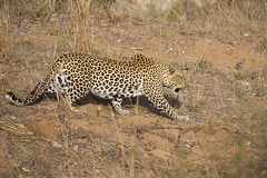 African Leopard (Panthera pardus) (piazzi1969) Tags: africa cats wildlife afrika spotted mammals sdafrika bigcats kruger leopards pantherapardus krger leoparden