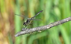 Schwarze Heidelibelle, Sympetrum danae (staretschek) Tags: heidelibelle sympetrumdanae segellibelle schwarzeheidelibelle schwarzelibelle