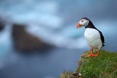Macareux moine #2 [ Unst ~ les Shetland ] (emvri85) Tags: greatbritain mer seascape scotland cliffs puffins falaises unst cosse grandebretagne shetlandislands macareuxmoine oiseauxdemer theshetlandislands