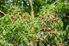 Kousa Dogwood (Philip McErlean) Tags: kousa dogwood benthamia tree fruit red strawberry lychee nikon d3200
