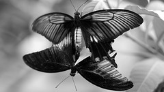 Happy Sunday (AstridSusann) Tags: bw mono schmetterling unscharf sw doppelt emsflower germany