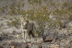 Coyote (Canis latrans) (Freshairphotography) Tags: coyotecanislatrans coyote wilderness wildanimal wild deathvalley california animals nature es