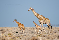 the big, the small and the smallest (Jose Antonio Pascoalinho) Tags: africa namibia etosha animals giraffe safari safariphotography nature wilderness wild mammal wildlife cubs outdoor life zedith