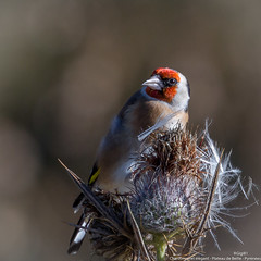 Chardonneret lgant (gilbert.calatayud) Tags: cardueliscarduelis europeangoldfinch bird oiseau chardonneret lgant fringillids passriformes plateau de beille pyrnes