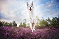 JumpUp! (Alicja Zmysowska) Tags: dog dogs pet pets jump jumping border collie heathland heathlands