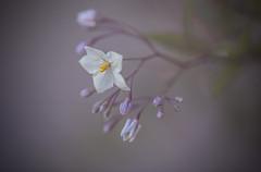 Fall Bloom (Prab Bhatia Photography) Tags: fall bloom flowers purple closeup macro flora bokeh whiteflower nature