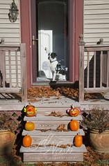 Before we bid the pumpkins adieu... (grilljam) Tags: pumpkins autumn november2016 bitzer puppy 1yrold bulldoglabmix frontporch posthalloween