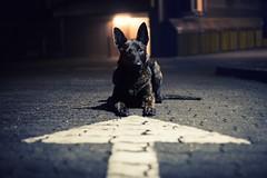 this way (Maria Zielonka) Tags: hund hunde hundefotografie dog dogs nacht nachts night street strase hamburg hollndischerschferhund hollandseherder herdershond dutch shepherd mariazielonkafotografie photography outdoor