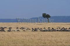 10078086 (wolfgangkaehler) Tags: 2016africa african eastafrica eastafrican kenya kenyan masaimara masaimarakenya masaimaranationalreserve wildlife grassland grasslands migration migrating antelope antelopes gnu wildebeestmigration wildebeest wildebeestherd wildebeests zebras plainszebrasequusquagga burchellszebra burchellszebraequusquagga burchellszebras