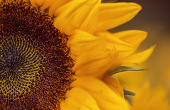 (donna leitch) Tags: flower sunflower petals nature yellow macro donnaleitch