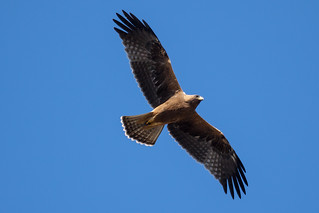 Aquila minore (Hieraaetus pennatus), morf. scuro      Booted Eagle, dark  morph