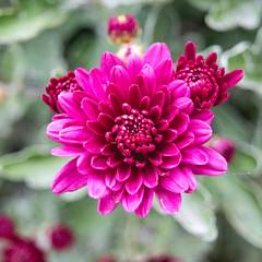 Pink flower (Justine_photographie) Tags: photographie photography macro macrophotographie rose pink violet purple fleur flower flowers vegetal nature extrieur picardie campagne
