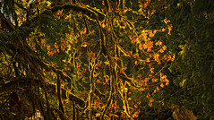 Backlit maple (dwolters2) Tags: washington mountians northcascades