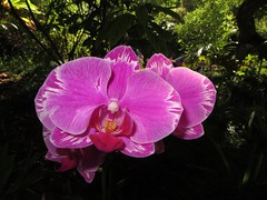 healing garden (BarryFackler) Tags: southkona westhawaii outdoor nature bigisland orchids konacommunityhospital flowers blossoms petals plant vegetation garden botany colorful kealakekua healinggarden hospital ornamentalplant beautiful hawaii polynesia ecology hawaiiisland kona life barryfackler barronfackler 2016 hawaiicounty sandwichislands tropical island