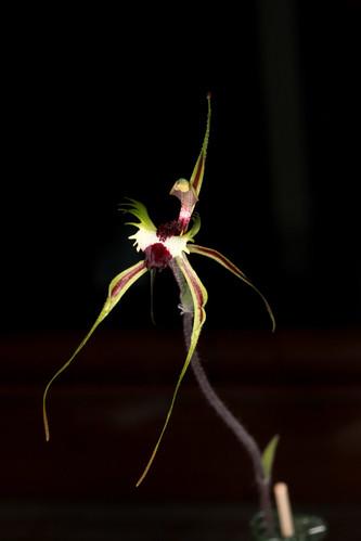 Arachnorchis tentaculata (syn Caladenia tentaculata) 2016-10-07 01