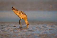 Deep Beak (gseloff) Tags: marbledgodwit bird feeding wildlife bolivarflatsshorebirdsanctuary houstonaudubonsociety galvestoncounty texas gseloff
