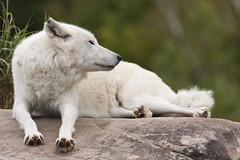 Arctic Wolf 51 (cypher40k Photography) Tags: color colour nikon arcticwolf wolf arctic toronto torontozoo zoo