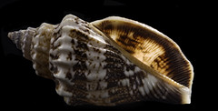 Back Lit Tiny Sea Shell (Bill Gracey 15 Million Views) Tags: shell seashell offcameraflash backlit backlighting roguegrid yongnuorf603n yn560iii tabletopphotography nature naturalbeauty glowing glow color colorful patterns shapes perspex blackbackground sidelighting softbox macrolens macrophotography