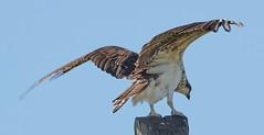 Oct 21 201620111 (Lake Worth) Tags: animal animals bird birdwatcher birds canonef500mmf4lisiiusm canoneos1dxmarkii everglades feathers florida nature outdoor southflorida waterbirds wetlands wildlife wing