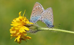 Large Blue (Mating) 270616  (21) (Richard Collier - Wildlife and Travel Photography) Tags: naturalhistory wildlife macro butterflies closeup british largeblue