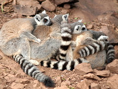 Group of lemurs (Tony Worrall) Tags: cumbria zoo beasts animals wild fun visit tour cumberland park sunlit cute animal collection southlakessafarizoo south lakes safari conservation daltoninfurness dalton live creature beast life happy outdoors group lemur tails family hug hugging