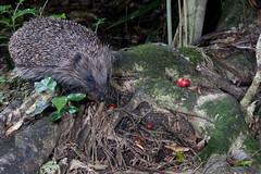 Hedgehog (Erinaceus europaeus) and Maire tawaki (Eugenia marie) ? (Nga Manu Images NZ) Tags: erinaceuseuropaeus eugeniamaire fscientificnames hedgehog mammals marietawakiswampmarie plantsandfungi trees