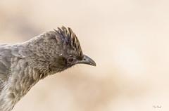 UCCELLO  in PRIMO PIANO   ---   BIRD  RITRAIT (Ezio Donati) Tags: natura nature animali animals uccello birds nikond810 africa cameroun yaounde foresta closeup