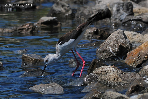 Black-winged Stilt 146749gb