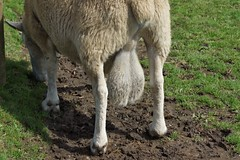 Cefn Mably Farm (7) (Leeber) Tags: cefnmablyfarm sheep farm cattle testicles balls nads