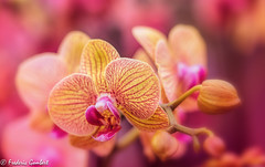 pink look (frederic.gombert) Tags: orchidee light red pink color colors sunlight orchid flower flowers bunch plant garden macro sony alpha7 wow